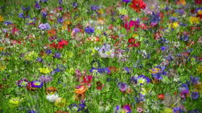 Fleurs colorées dans le pré - combiné banque de vidéos