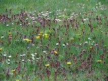 Fleurs colorées dans le pré d'été, Lithuanie Photos libres de droits