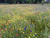 Fleurs colorées dans un domaine vert Photos libres de droits