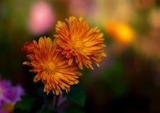 Fleurs colorées de chrysanthemum Images stock