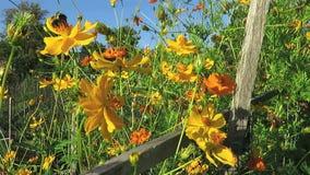 Fleurs colorées de cosmos de septembre banque de vidéos