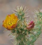 Fleurs colorées de désert photographie stock libre de droits