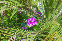 Fleurs colorées de fin de Mirabilis  Photos libres de droits