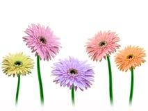 Fleurs colorées de gerbera Image libre de droits