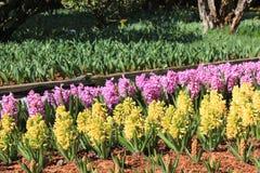 Fleurs colorées de jacinthe une journée de printemps ensoleillée Photographie stock