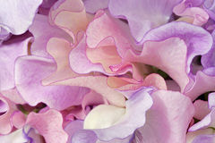 Fleurs colorées de lathyrus Photo libre de droits