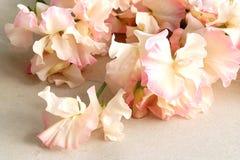 Fleurs colorées de lathyrus Image stock