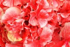 Fleurs colorées de lathyrus Image libre de droits