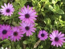 Fleurs colorées de marguerites Images libres de droits