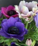 Fleurs colorées de pavot Photos stock