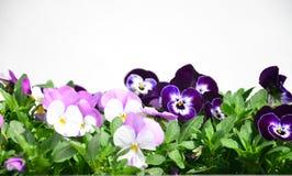 Fleurs colorées de pensées Image stock