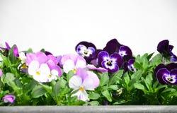 Fleurs colorées de pensées Photo stock