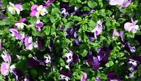 Fleurs colorées de pensées Images stock