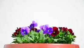 Fleurs colorées de pensées Images libres de droits