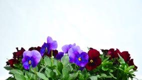 Fleurs colorées de pensées Image libre de droits