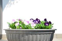 Fleurs colorées de pensées Photographie stock libre de droits