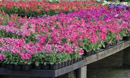 Fleurs colorées de source Photographie stock libre de droits