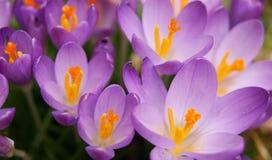 Fleurs colorées de source Photo libre de droits