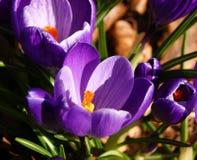 Fleurs colorées de source Image libre de droits