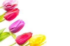 Fleurs colorées de tulipes d'isolement sur le fond blanc avec l'espace libre Mothersday ou concept de ressort Image libre de droits