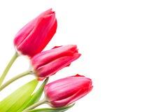 Fleurs colorées de tulipes d'isolement sur le fond blanc avec l'espace libre Mothersday ou concept de ressort Images libres de droits