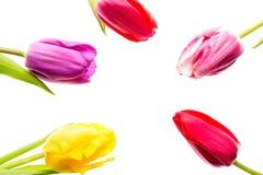 Fleurs colorées de tulipes d'isolement sur le fond blanc avec l'espace libre Mothersday ou concept de ressort Image stock