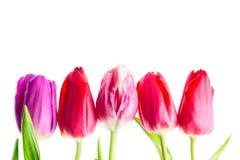Fleurs colorées de tulipes d'isolement sur le fond blanc avec l'espace libre Mothersday ou concept de ressort photographie stock