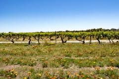 Fleurs colorées devant des vignes, la vallée Barossa photographie stock
