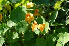 Fleurs colorées du nasturce au soleil dans le jardin d'été Photos stock