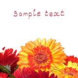 Fleurs colorées vibrantes de Gerbera de marguerite Photographie stock libre de droits