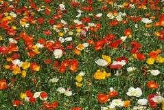 Fleurs color?es dans l'ensoleill? photographie stock