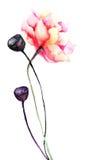 Fleurs colorées de pavot Images stock