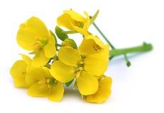Fleurs comestibles de moutarde Photographie stock