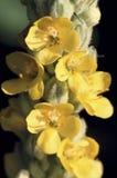 Fleurs communes 39021 de Mullein Images libres de droits