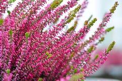 Fleurs communes de bruyère Photographie stock libre de droits
