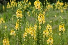 Fleurs communes de mullein Image stock