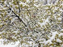Fleurs congelées d'arbre de ressort Photographie stock