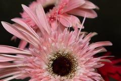 Fleurs coupées Bol-fraîches de jamesonii de Gerbera photo stock