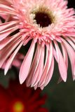 Fleurs coupées Bol-fraîches de jamesonii de Gerbera Photographie stock