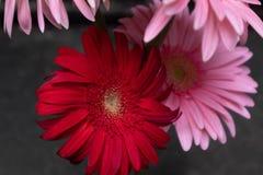 Fleurs coupées Bol-fraîches de jamesonii de Gerbera Images libres de droits