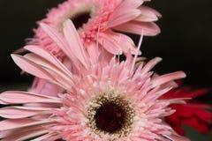 Fleurs coupées Bol-fraîches de jamesonii de Gerbera Photographie stock libre de droits