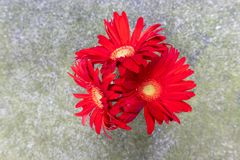 Fleurs coupées Bol-fraîches de jamesonii de Gerbera Photo libre de droits