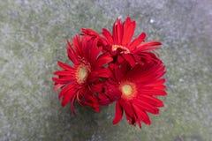 Fleurs coupées Bol-fraîches de jamesonii de Gerbera image stock