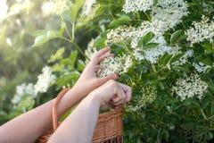 Fleurs coupées de la baie de sureau Bush dans un panier en osier Image libre de droits