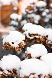 Fleurs couvertes dans la neige images libres de droits
