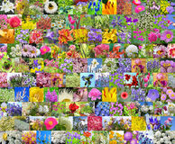 Fleurs cultivées décoratives collage Photos libres de droits