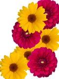 Fleurs, décoratives avec les pétales rouges jaunes images libres de droits