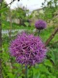 Fleurs décoratives d'oignon photo libre de droits
