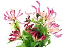 Fleurs décoratives de chèvrefeuille Images libres de droits