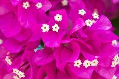 Fleurs décoratives de rose d'arbre de bouganvillée Image libre de droits